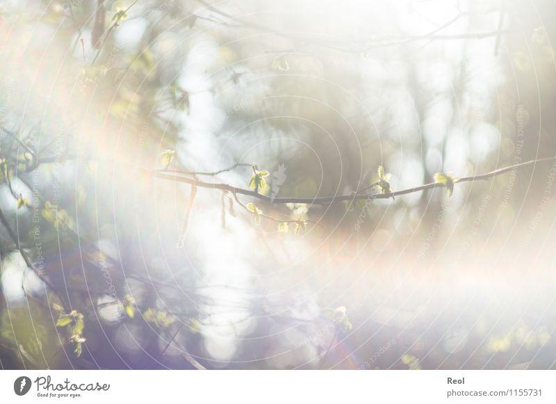 Frühlingsblattwerk Natur Pflanze Sonne Sonnenlicht Schönes Wetter Baum Grünpflanze Wildpflanze Blatt Zweige u. Äste Wald Wachstum hell grün weiß