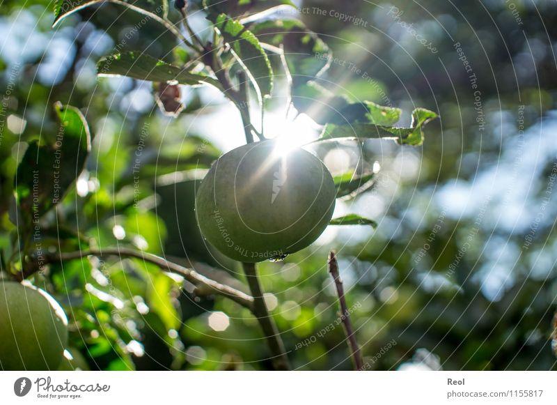 Apfel Lebensmittel Natur Sonne Sonnenlicht Herbst Pflanze Baum Nutzpflanze Apfelbaum reif Obstbaum Essen grün Gesunde Ernährung Gesundheit Sonnenstrahlen