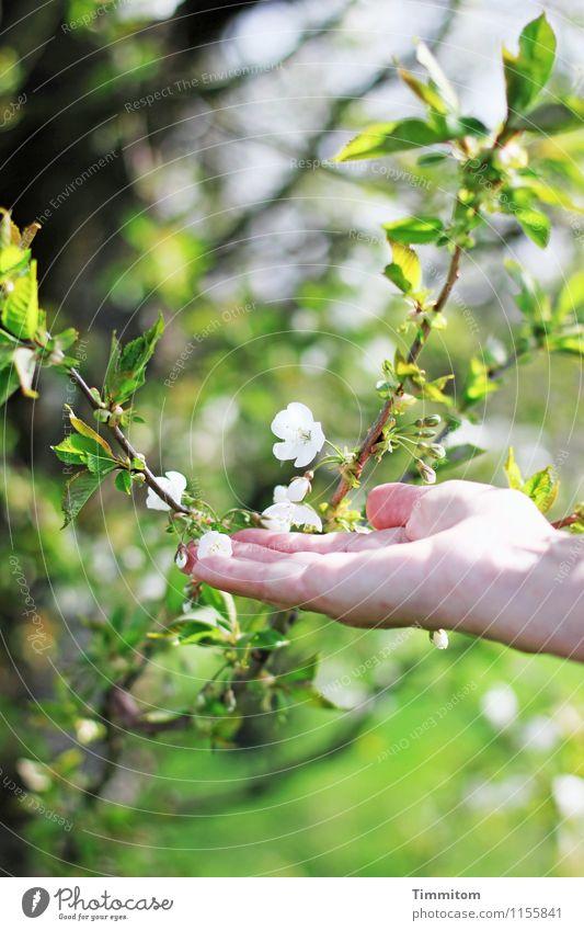 Ja, doch... Frühling! feminin Hand 1 Mensch Umwelt Natur Pflanze Blüte berühren ästhetisch Fröhlichkeit natürlich grün weiß Gefühle Lebensfreude Hoffnung
