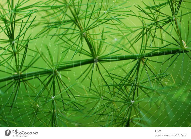 Nadelwald grün Pflanze Natur Makroaufnahme leicht frisch zart Geäst Zweige u. Äste weich fein Frieden sanft Tanne Hintergrundbild Stachel stechen filigran edel