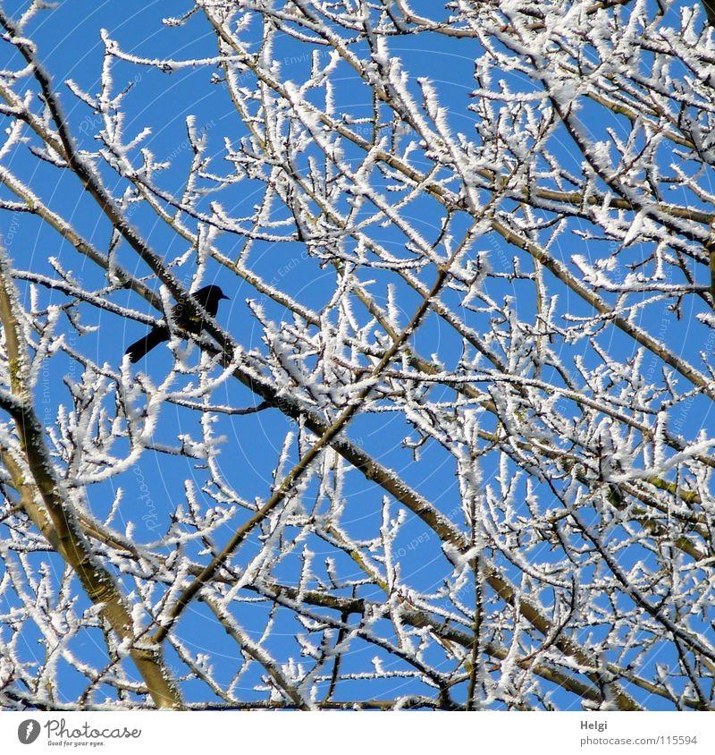 schwarz auf weiß... Winter kalt Raureif Baum Geäst verzweigt Vogel Rabenvögel braun Zusammensein schön nebeneinander lang dünn durcheinander Dezember frieren