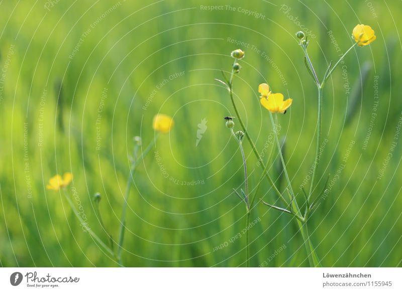 Buttercups in Spring Natur Pflanze grün Erholung Blume ruhig Freude Tier gelb Blüte Frühling Wiese natürlich Gras klein Wachstum