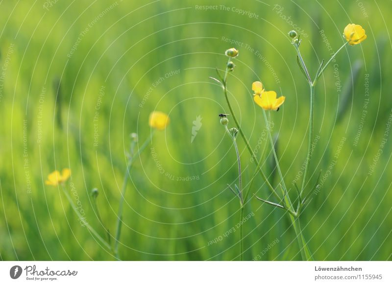 Buttercups in Spring Natur Pflanze Tier Frühling Schönes Wetter Blume Gras Blüte Hahnenfuß Wiese Fliege Blühend Fröhlichkeit frisch klein natürlich gelb grün