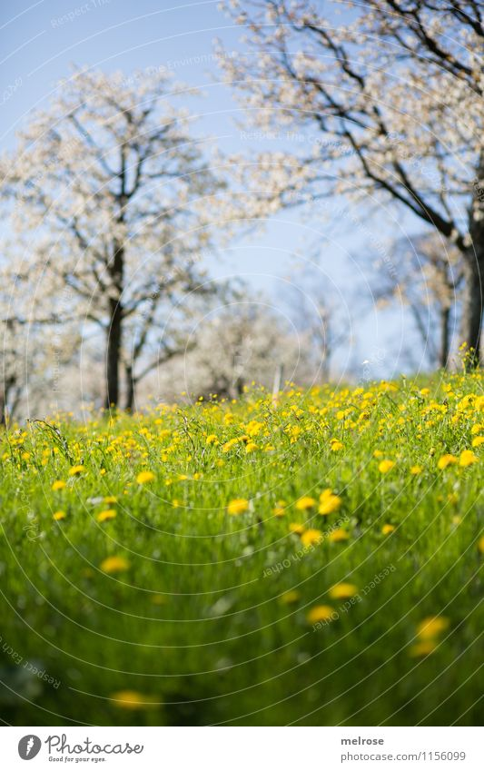 Kirschblüte und Löwenzahn II Natur blau schön grün weiß Baum Erholung Blume Landschaft gelb Blüte Frühling Gras träumen Zufriedenheit leuchten