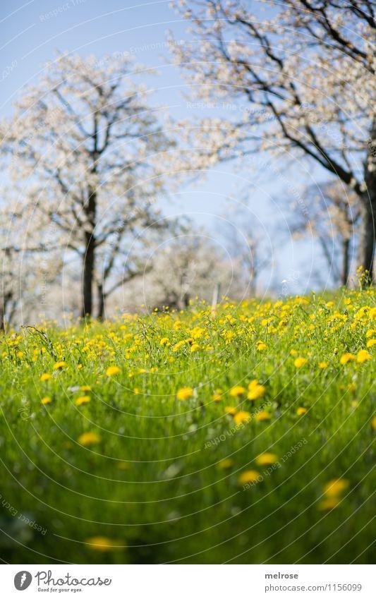 Kirschblüte und Löwenzahn II Wellness Wohlgefühl Natur Landschaft Wolkenloser Himmel Frühling Schönes Wetter Baum Blume Gras Blüte Wildpflanze Kirschblütenbäume