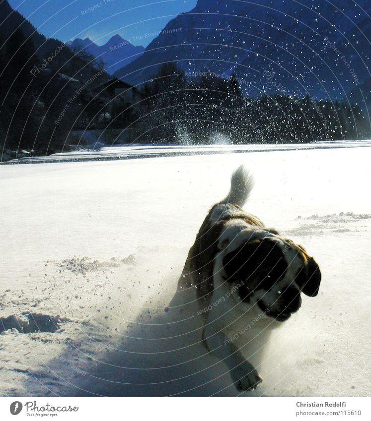 Berhardiner Hund Spielen Schneelandschaft 100 Meter Lauf Intuition Wetter Winter kalt Tier Bernhardiner Fluss Lech Landschaft laufen Hundespiel Bergretter