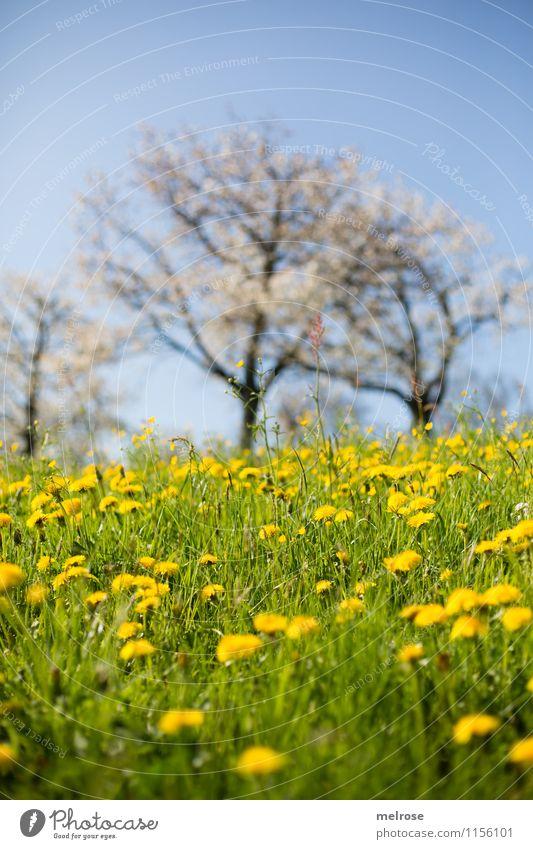 Kirschblüte und Löwenzahn Natur Landschaft Pflanze Wolkenloser Himmel Frühling Baum Gras Blüte Wildpflanze Löwenzahnfeld Kirschblüten Wiese Hügel atmen Blühend