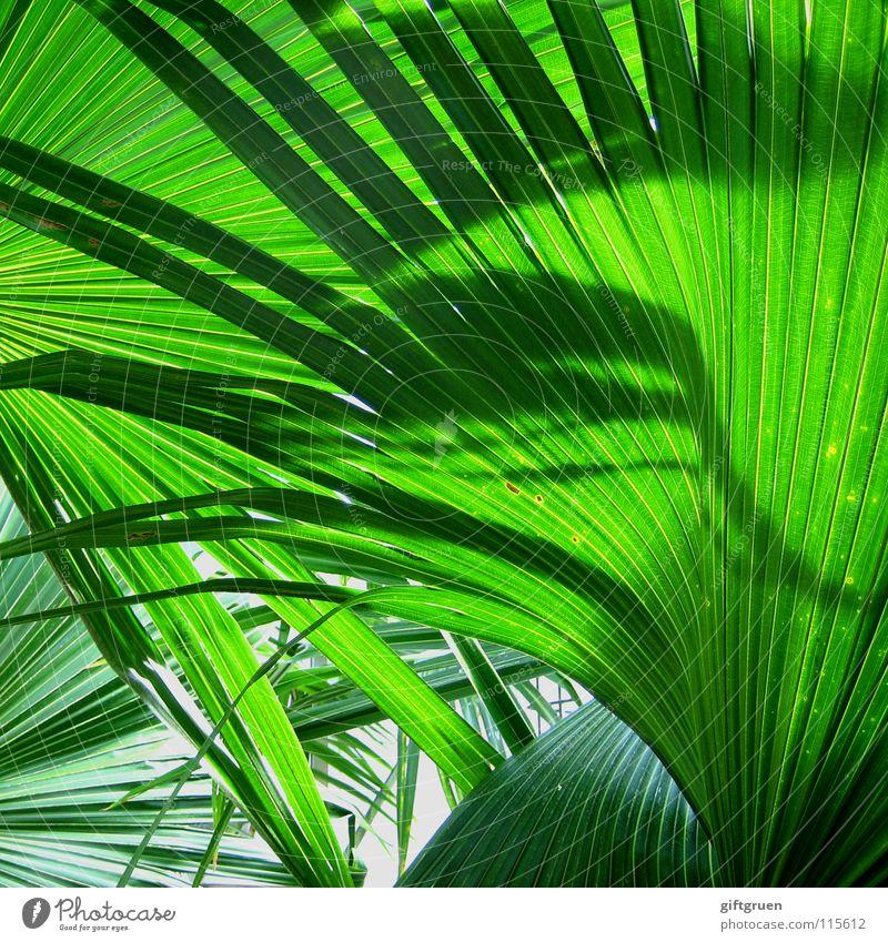 grüner geht's nimmer! Palme giftgrün Pflanze Botanik Muster Farbe Sommer Schatten Natur Strukturen & Formen