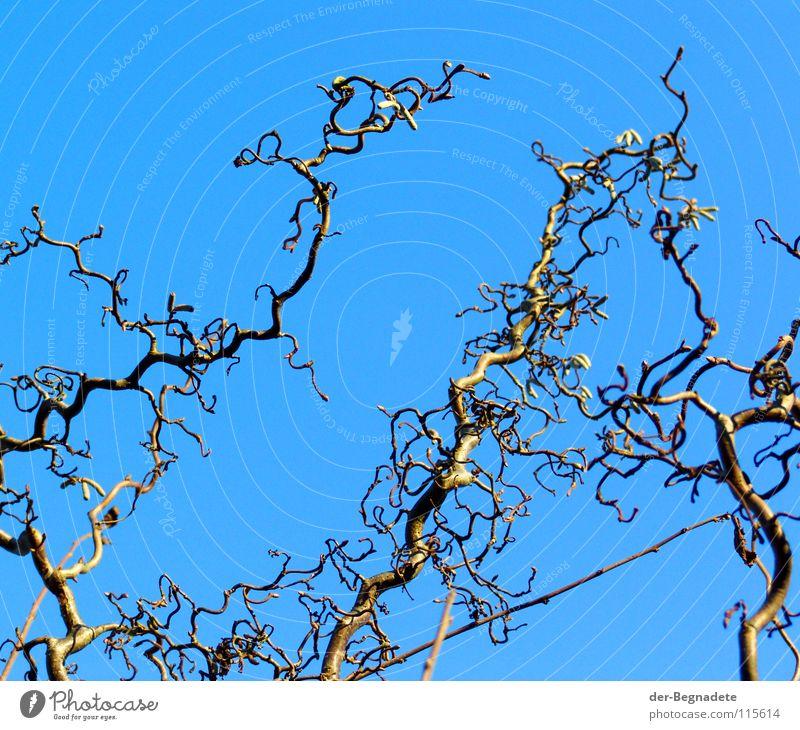 Korkenzieherhasel III Himmel blau Winter Leben Park Trauer Schönes Wetter diagonal Zweig Verzweiflung Blütenknospen Dezember laublos Vorgarten verkrüppelt