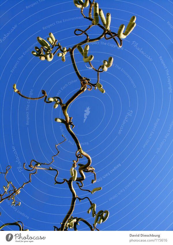 Noisette en bleu hell-blau Baum Pflanze braun Sonnenuntergang durcheinander Herbst Winter Haselnuss gelb Himmel Ast Kurve Verwirbelung Klarheit Schönes Wetter