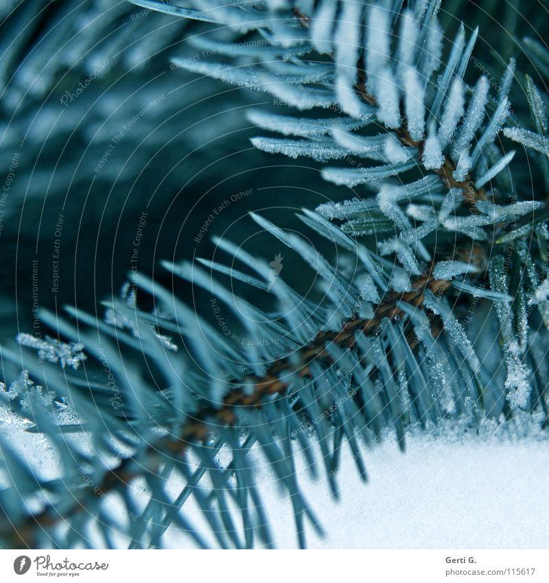 tanneblau Winter kalt Schnee Eis Frost gefroren Weihnachtsbaum Tanne Nadelbaum Tannennadel Raureif Pflanze Eiszeit winterfest Weihnachtsdekoration