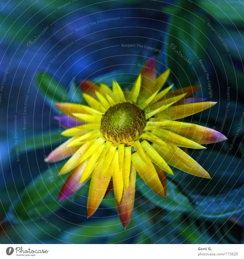 everlasting Strohblume Blume Winter winterfest gelb mehrfarbig grün Blüte Blütenblatt immortelle strawflower frostresistent blau