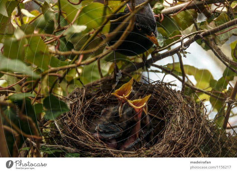 Amselhahn-bei-Fütterung-Amselküken-Gierschnäbel_MG_1715 Tier Wildtier Vogel Küken Tierjunges 4 Tiergruppe Tierfamilie füttern Zuneigung Sorge Brutpflege