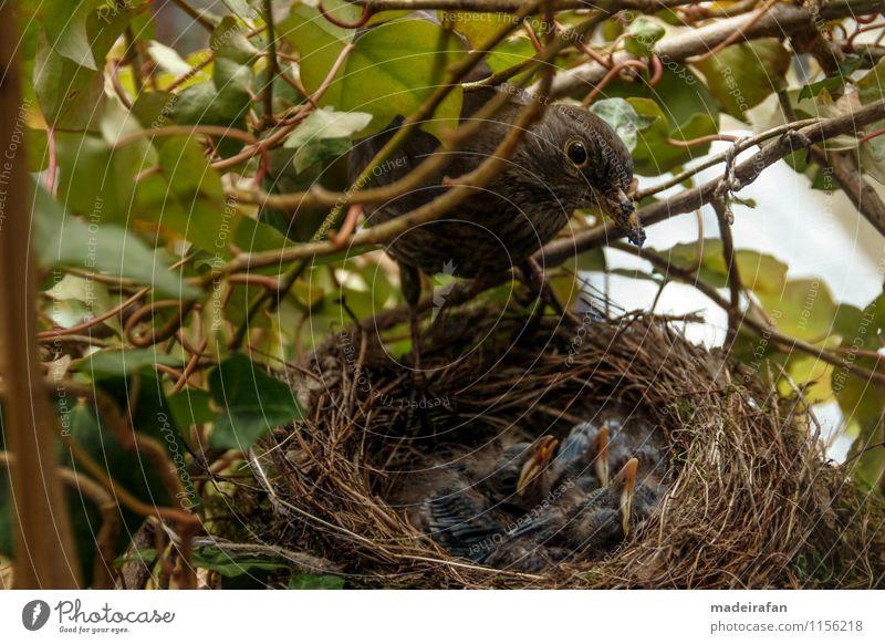 Amselweibchen-über-Küken-Bettelschnäbel_MG_1748 Tier Wildtier Vogel Krallen Amselnachwuchs Tiergruppe Tierjunges Tierfamilie füttern Nachkommen Amselküken