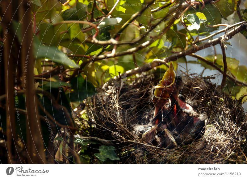 hungrige-Amselküken-recken-Hälse-Schnäbelduo-Amselnachwuchs grün Tier schwarz Tierjunges gelb Gefühle Bewegung grau außergewöhnlich braun Vogel rosa Wildtier