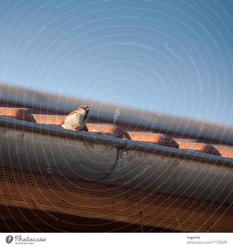Spatz Himmel Dach Dachrinne Dachziegel Tier Vogel 1 beobachten hocken Blick klein nah oben blau braun grau orange Sicherheit Leben einzigartig Natur Farbfoto