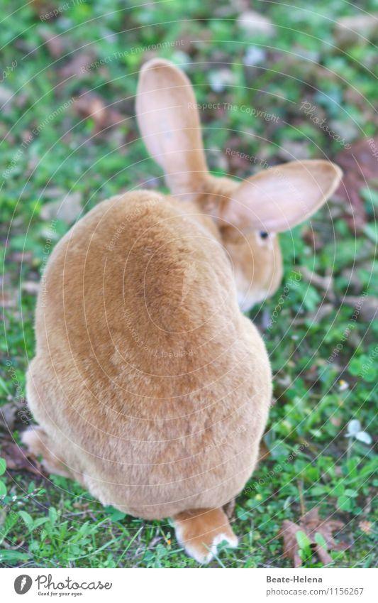 die Arbeit ruft Ostern Natur Frühling Gras Wiese Hase & Kaninchen Hasenohren Hasenpfote Arbeit & Erwerbstätigkeit warten braun grün Freude Kraft Osterhase