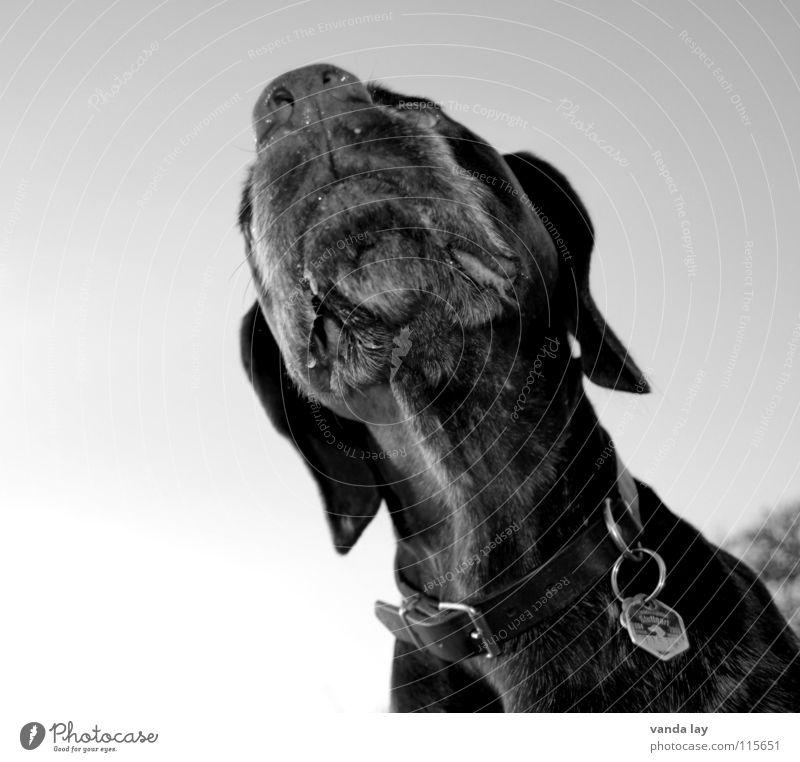 Der Nase nach Hund Jagdhund Jäger Halsband Hundemarke Luft Hängeohr schwarz weiß Schwarzweißfoto Säugetier Paul Deutsch Kurzhaar Geruch schüffeln Sinnesorgane