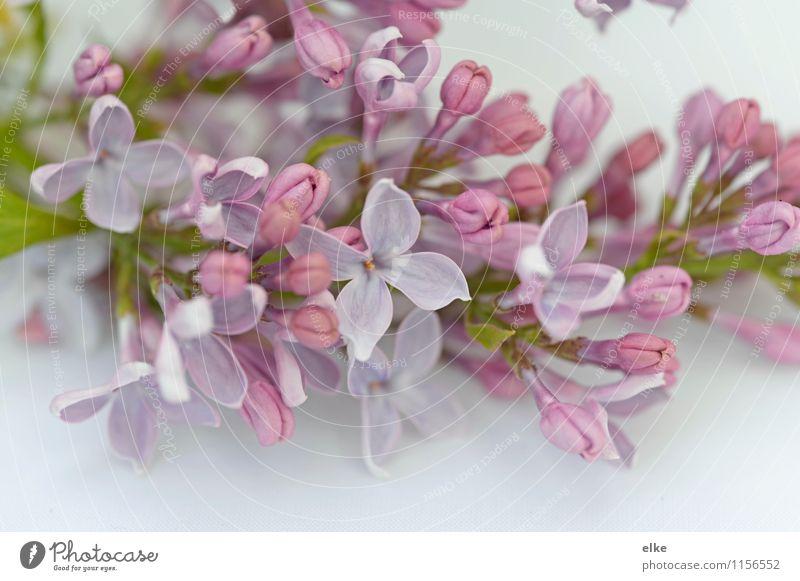 Flieder Natur Pflanze Frühling Schönes Wetter Blume Blüte Garten einzigartig Fliederbusch Gedeckte Farben mehrfarbig Außenaufnahme Nahaufnahme Makroaufnahme Tag