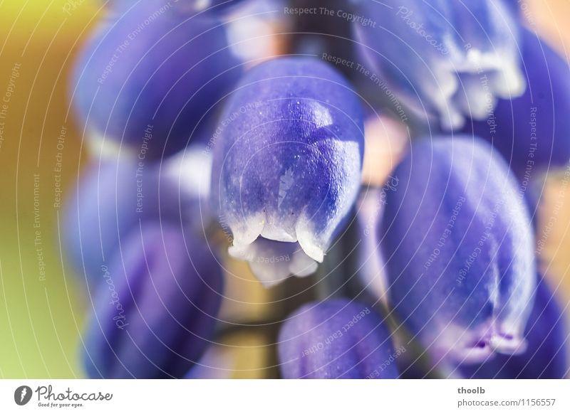 Blüte Hyazinte elegant Sonne Umwelt Natur Pflanze Blume Wachstum frisch weich blau violett Frühlingsgefühle Ausschnitt Blütenkelch Hyazinthe Jugend Kelch Tag
