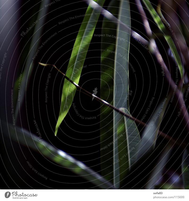 ficus Feige Pflanze dunkel grün Makroaufnahme Nahaufnahme Reflexion & Spiegelung