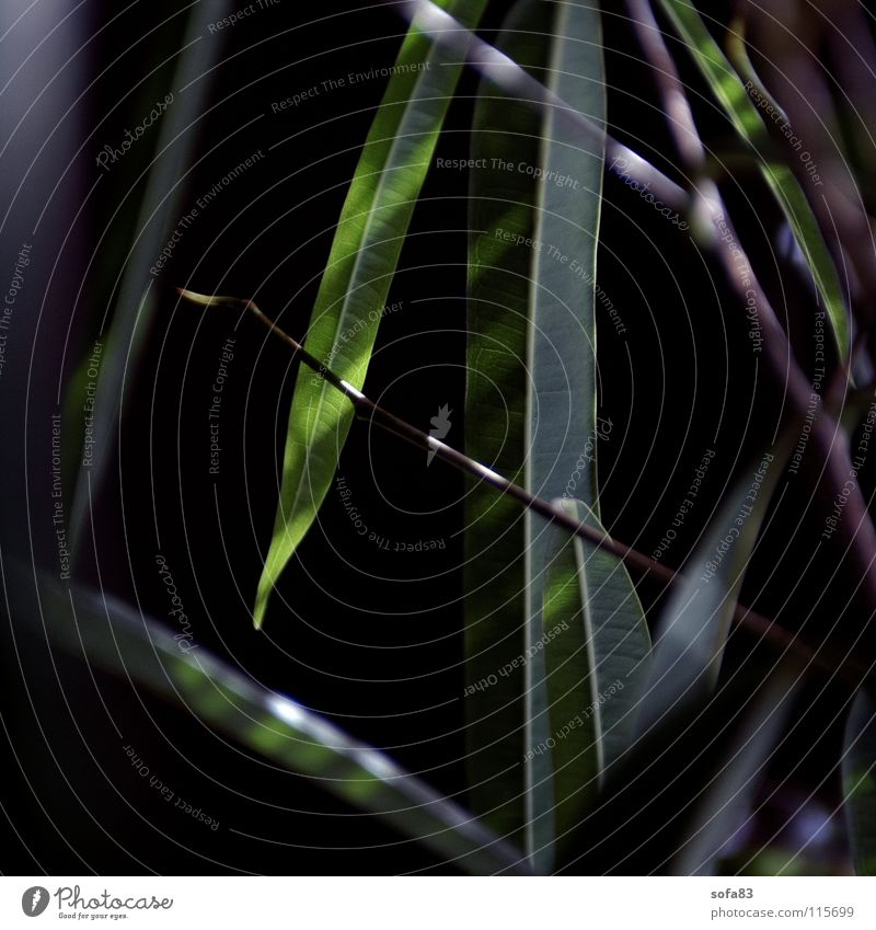 ficus grün Pflanze dunkel Feige