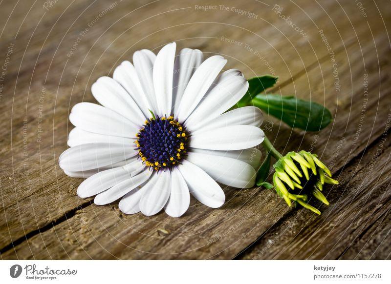 Blume auf Holz Margerite weiß Muttertag Valentinstag Gänseblümchen Geschenk Freude Glückwünsche Fröhlichkeit frisch Frühling Frühlingsblume Blumenstrauß Liebe
