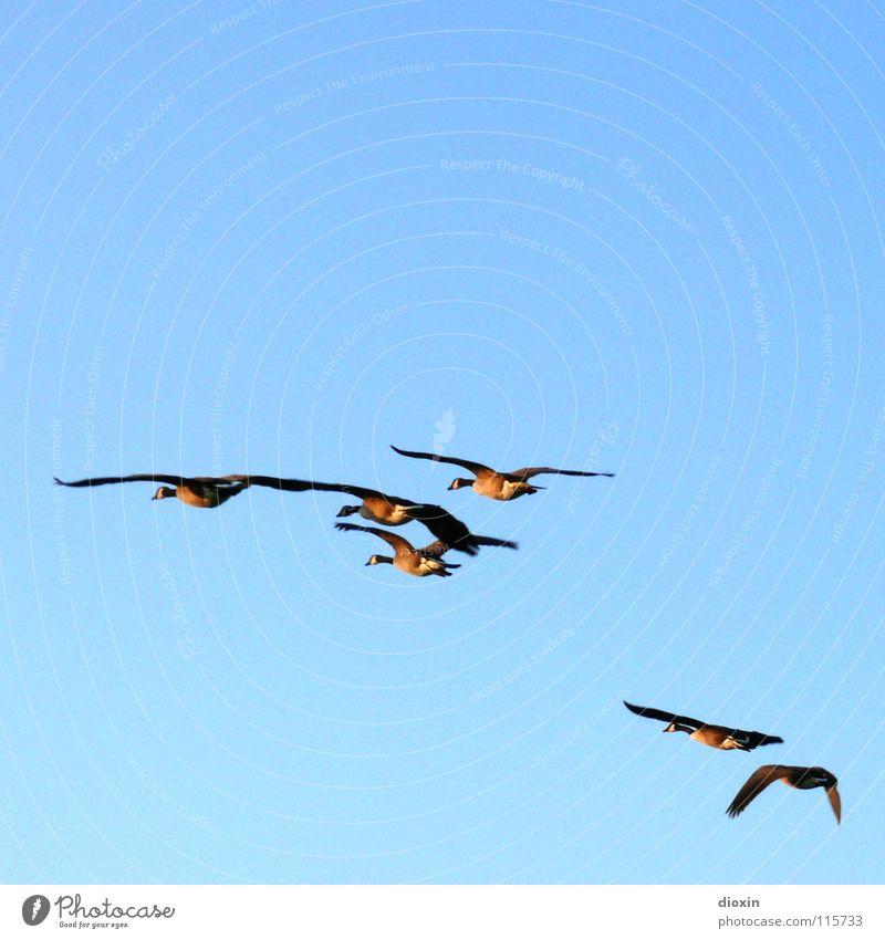 Nix wie weg... Himmel blau Tier Umwelt Freiheit Freundschaft Vogel Zusammensein fliegen Wildtier Feder Tiergruppe Flügel Wolkenloser Himmel Fernweh Gans