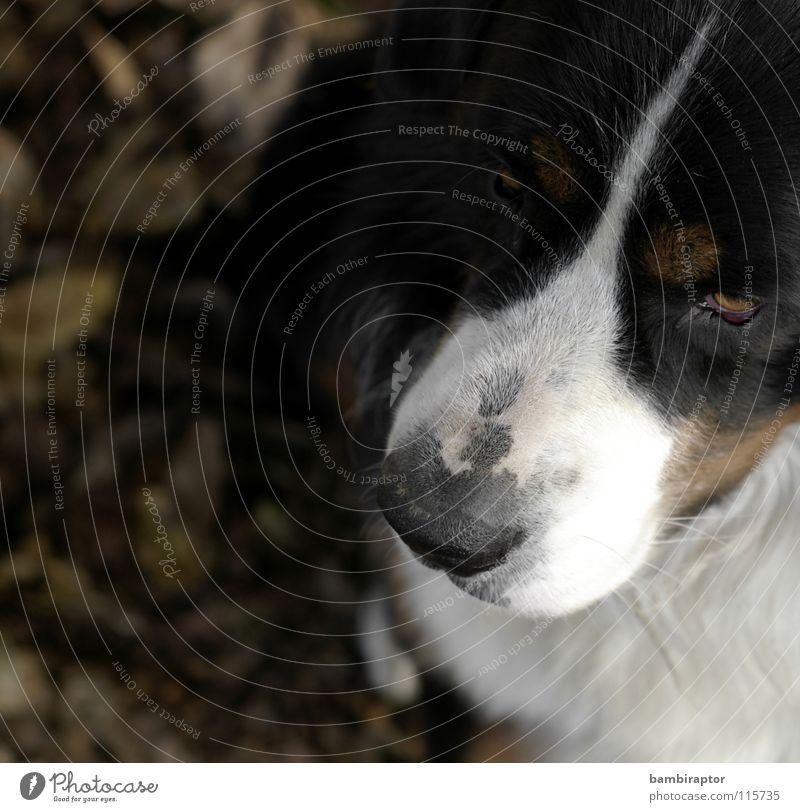 """Bär"" Blatt Herbst Hund Säugetier Schnauze Misstrauen Eifersucht Berner Sennenhund"