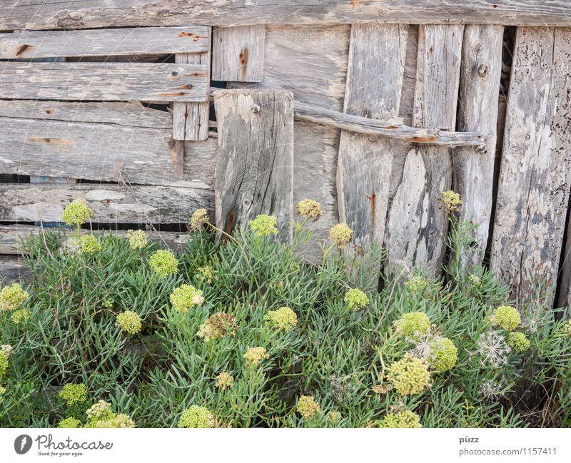 Bretterbude Natur Pflanze Blume Sträucher Grünpflanze Wildpflanze Hütte Mauer Wand Fassade Garten alt braun grau grün Verfall Vergänglichkeit
