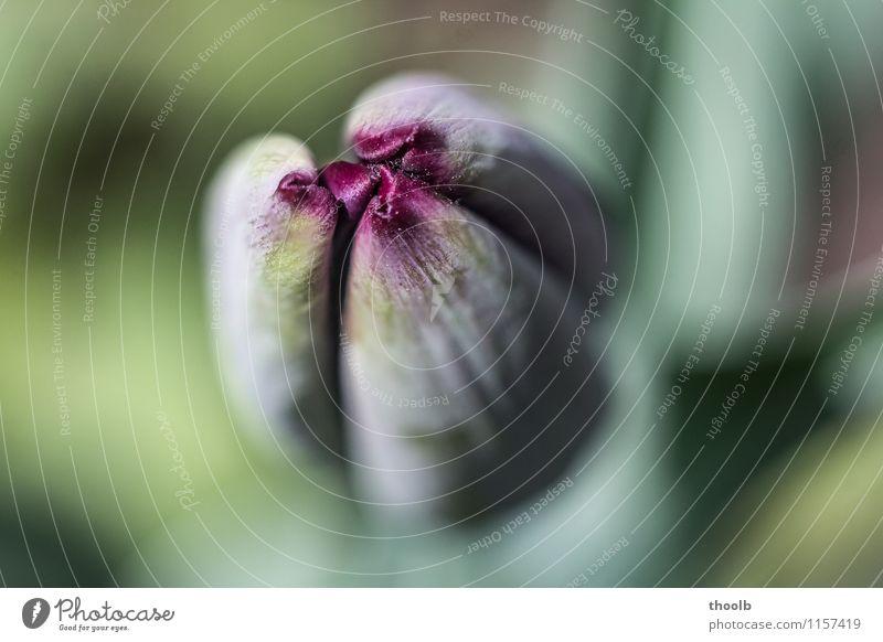 Blüte Tulpe rot geschlossen Sonne Umwelt Natur Pflanze Blume Wachstum frisch weich gelb grün Ausschnitt Blütenkelch Jugend Kelch Unschärfe jung sonnig zart