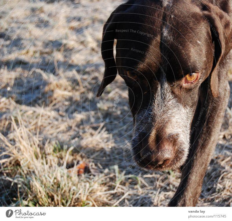 Blick Hund Winter Tier Auge Wiese Schnee Gras Luft braun Wetter laufen Nase Spaziergang Vertrauen Jagd Geruch