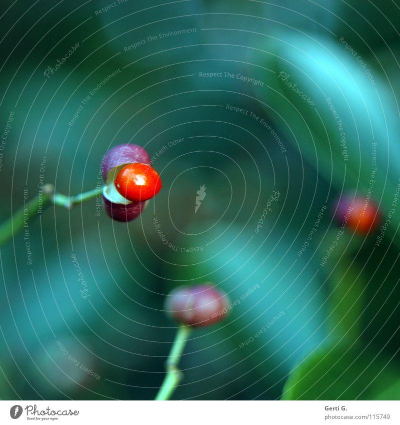 berries platzen grün rot Baum Sträucher glänzend Perle Schutzhülle Garten Park Winter Beeren Schalen & Schüsseln Hülle hintergrundunschärfe Ast