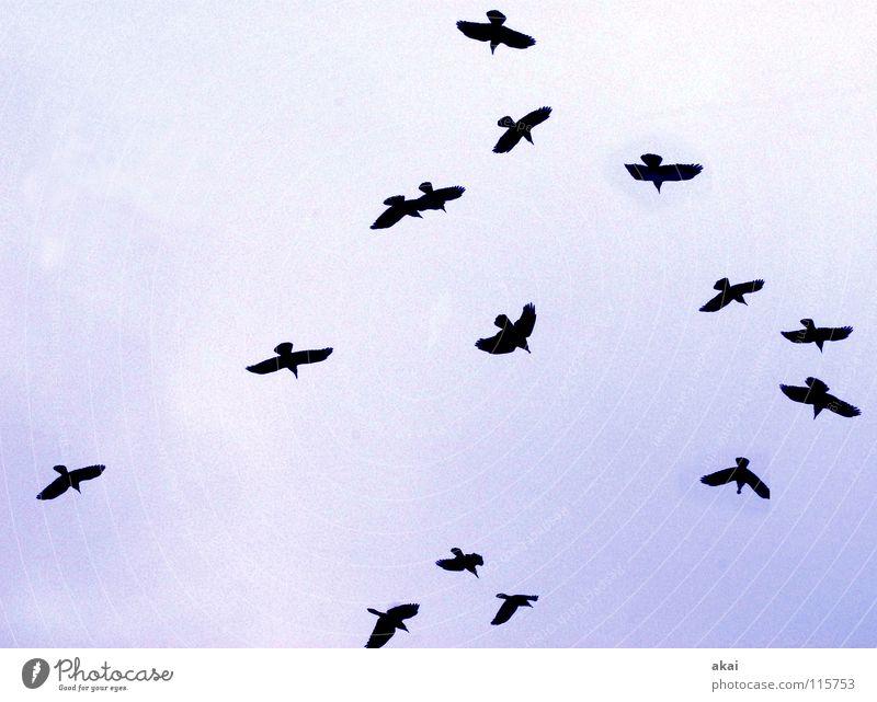 Weihnachtsraben Himmel blau Winter Wolken Luft Vogel fliegen Luftverkehr Kommunizieren sozial Gans krumm bedecken Formation Schwarm Rabenvögel