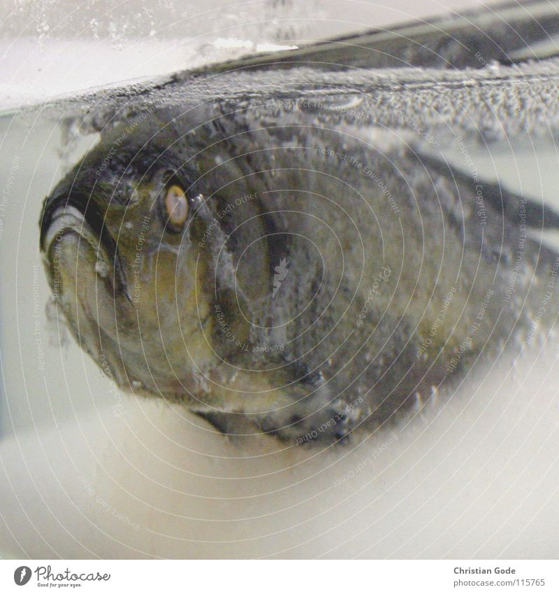 Weihnachtskarpfen Wasser Winter Auge Leben kalt Ernährung Tod Wärme Traurigkeit Mund Eis Zeit Schwimmen & Baden Fisch Trauer Physik