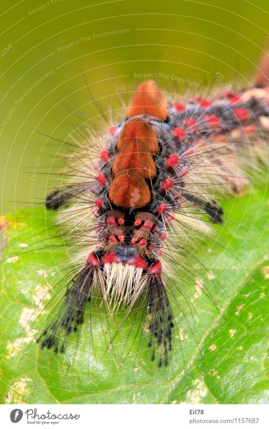 Schlehen-Bürstenspinner Tier Schmetterling Raupe 1 Frühlingsgefühle Schlehen-Bürstenspinnerraupe Borsten Behaarung mehrfarbig Farbfoto Außenaufnahme Nahaufnahme