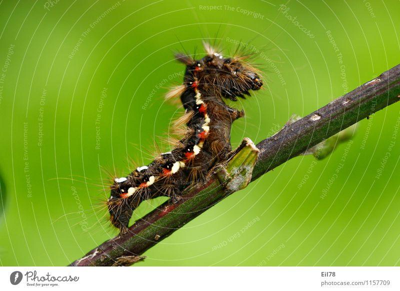 Raupe der Ampfer-Rindeneule Tier Schmetterling 1 Tugend Lebensfreude Frühlingsgefühle Ampfereule Borsten Behaarung haarige Raupe rot weiß braun Farbfoto