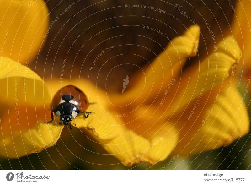 Marienkäfer Natur Blume Sommer gelb Blüte Insekt Sonnenblume Käfer