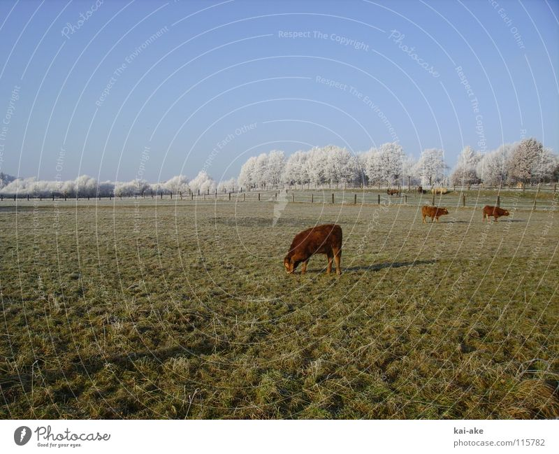 Weide Kuh Kamel Raureif Winter Schneelandschaft Horizont Amerika