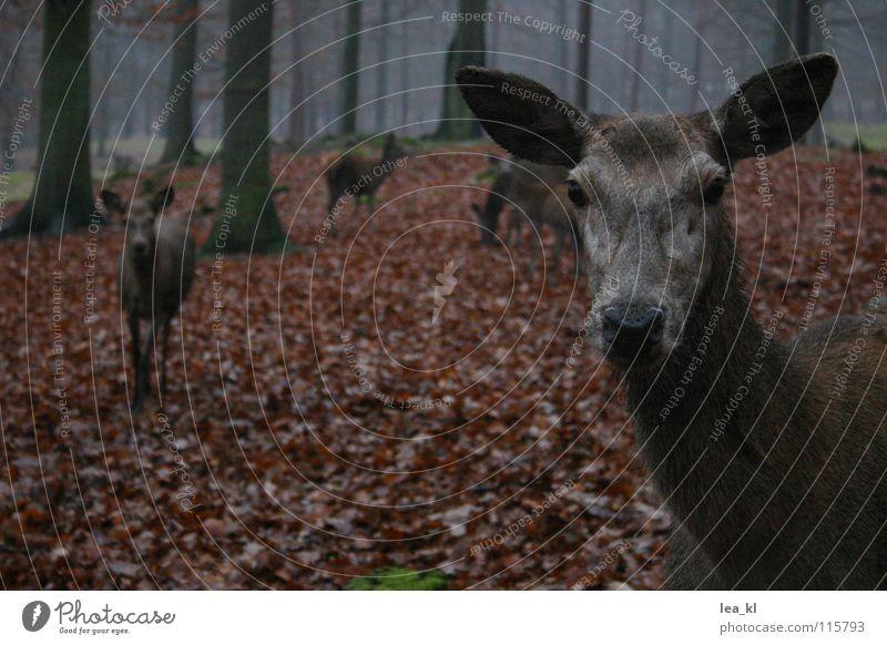 Neugier Baum Blatt Tier Wald Herbst Regen Nebel Wildtier Säugetier Hirsche Reh Wildpark Rothirsch