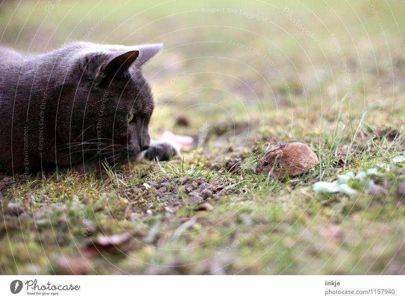 Pech und Schwefel Tier Wiese Haustier Wildtier Katze Maus 2 beobachten Blick klein natürlich niedlich wild Gefühle Stimmung selbstbewußt Mut Zusammensein