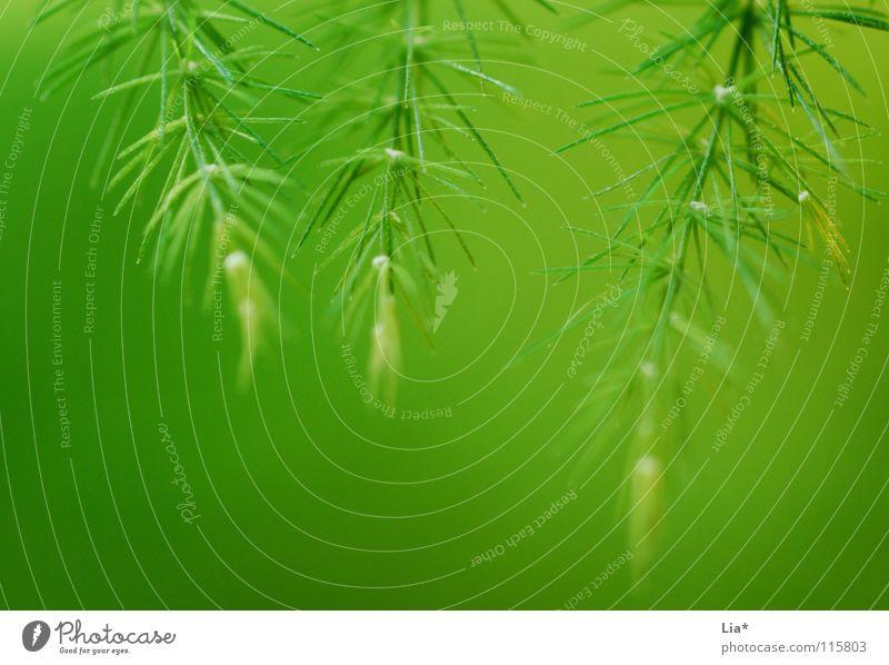 Drei mal Grün Nahaufnahme Makroaufnahme harmonisch Natur Pflanze frisch weich grün friedlich Farbe Frieden leicht zart Geäst Zweige u. Äste fein sanft Tanne 3
