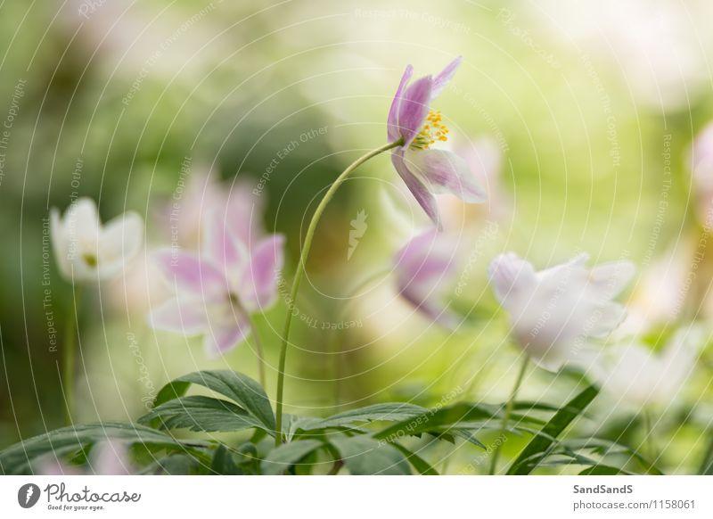 Waldanemonen Umwelt Natur Pflanze Frühling Blume Sträucher Blüte Wildpflanze Park Freude Farbfoto mehrfarbig Außenaufnahme Nahaufnahme Menschenleer Morgen