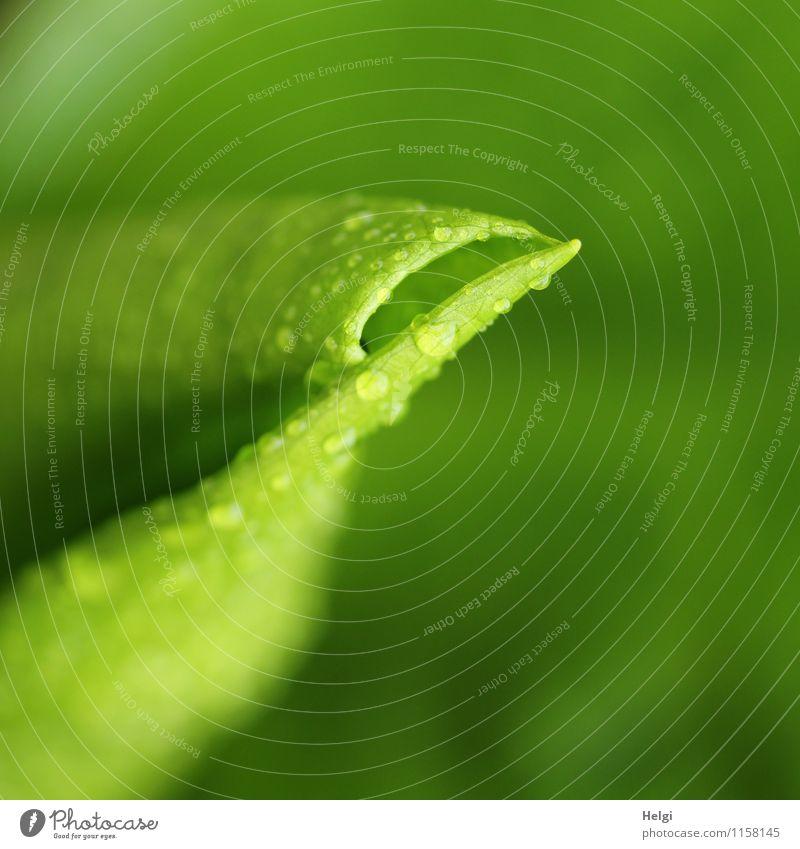 Blatt... Umwelt Natur Pflanze Frühling Regen Blume Calla Feuchtgebiete Sumpf Park Wachstum authentisch außergewöhnlich frisch einzigartig nass natürlich grün