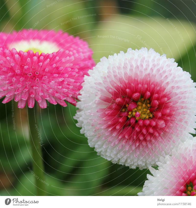 zum Muttertag... Umwelt Natur Pflanze Frühling Blume Blatt Blüte Gänseblümchen Park Blühend Wachstum ästhetisch schön klein grün rosa weiß einzigartig Farbfoto