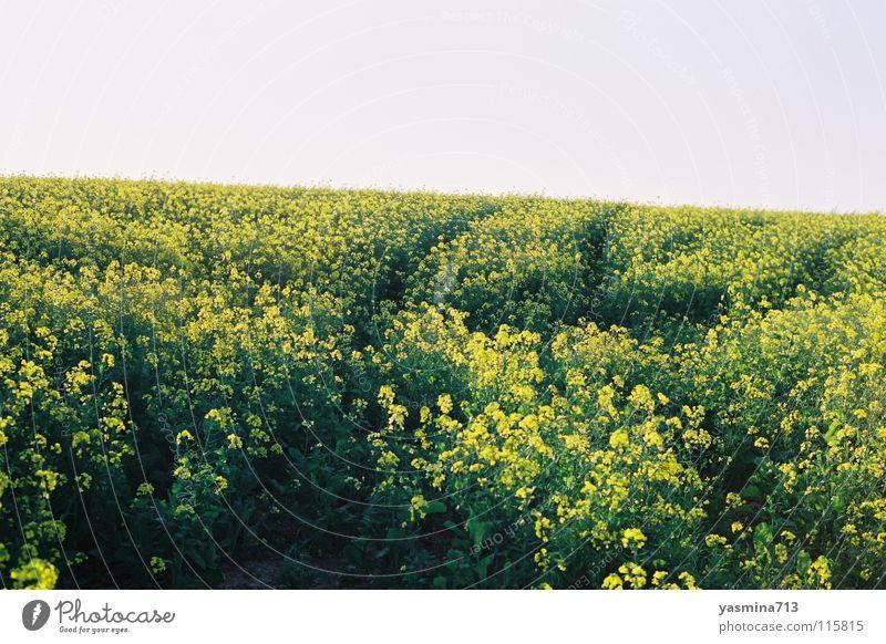 Rapsfeld Blume gelb Ferne friedlich einheitlich Südafrika Reifenspuren