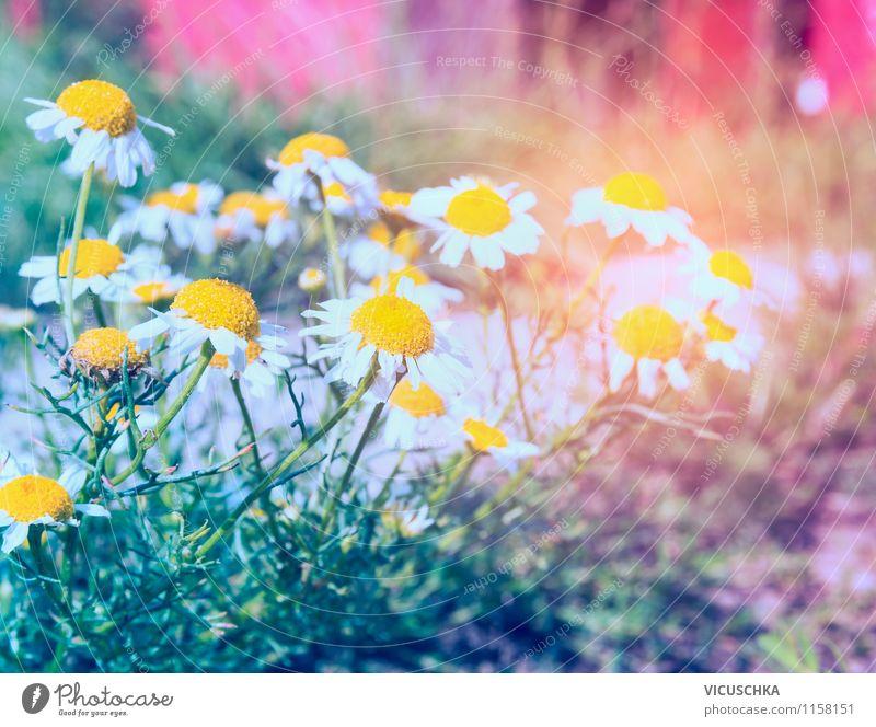 Wilde Kamille im Sonnenschein Natur Ferien & Urlaub & Reisen Pflanze grün Sommer Sonne Blume rot gelb Frühling Herbst Wiese Hintergrundbild Garten Stimmung Lifestyle