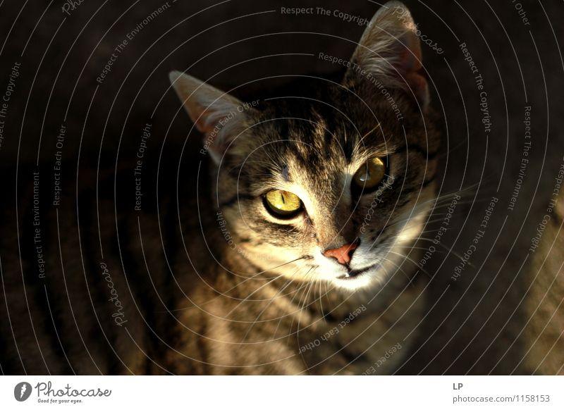 Miau Tier Haustier Katze Tiergesicht 1 beobachten leuchten Aggression Bekanntheit kuschlig nah Neugier Wärme Wut braun gelb silber Zufriedenheit Coolness Kraft