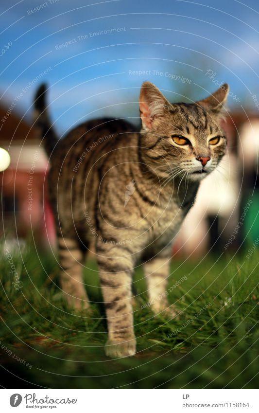 Gyuri Haustier Katze 1 Tier beobachten entdecken frieren Blick stehen bedrohlich Neugier wild braun selbstbewußt Coolness Kraft Macht Mut Vorsicht Gelassenheit