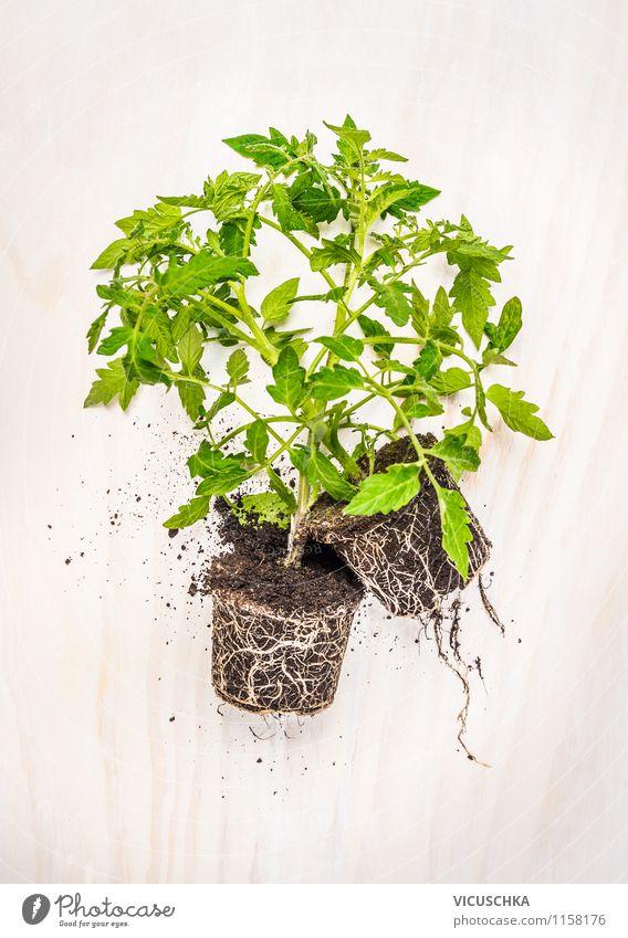 Tomatenpflanzen auf weißem Tisch Natur Pflanze Sommer Leben Frühling Stil Garten Design Erde Tisch Biologische Landwirtschaft Tomate Gartenarbeit Wurzel Nutzpflanze Gemüsegarten